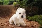 Westhighland terrier Enno